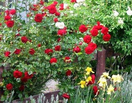 rose_plant