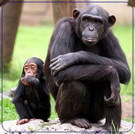 Chimpanzee_Family.jpg