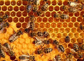 Honey-Bees-Nest.jpg