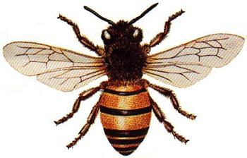Honey_Bee4.jpg