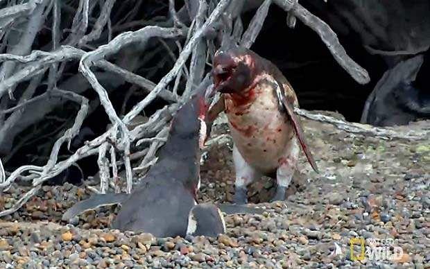 காதல் துரோகம் மனிதர்களுக்கு மட்டுமல்ல; பறவைகளுக்கும் உண்டு: Penguin-fight