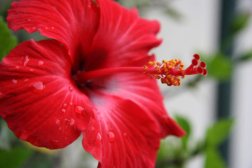 Hibiscus-For-Your-Hair