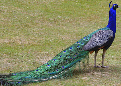 peacocks-1v