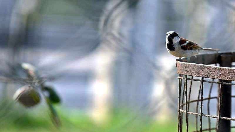 sparrow-bird-1