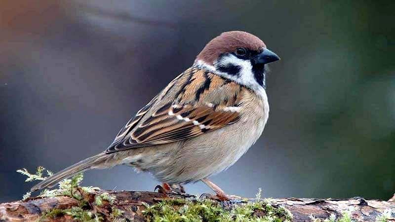 sparrow-bird-10