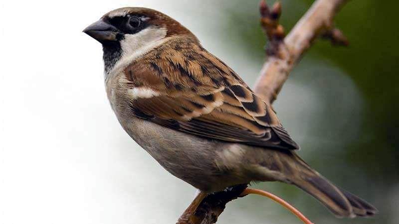 sparrow-bird-11
