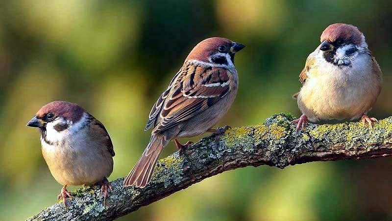 sparrow-bird-13