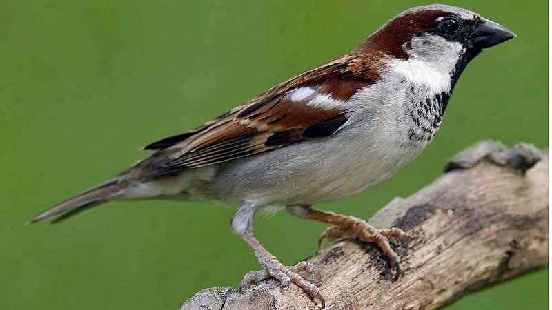 sparrow-bird-14