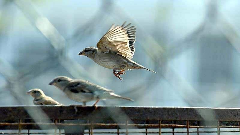 sparrow-bird-5