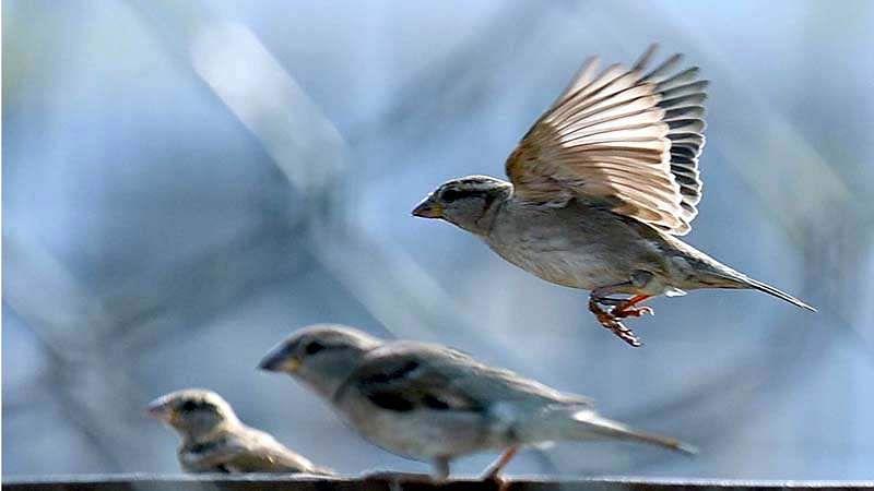 sparrow-bird-7