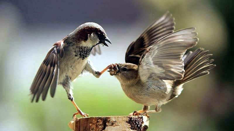 sparrow-bird-8