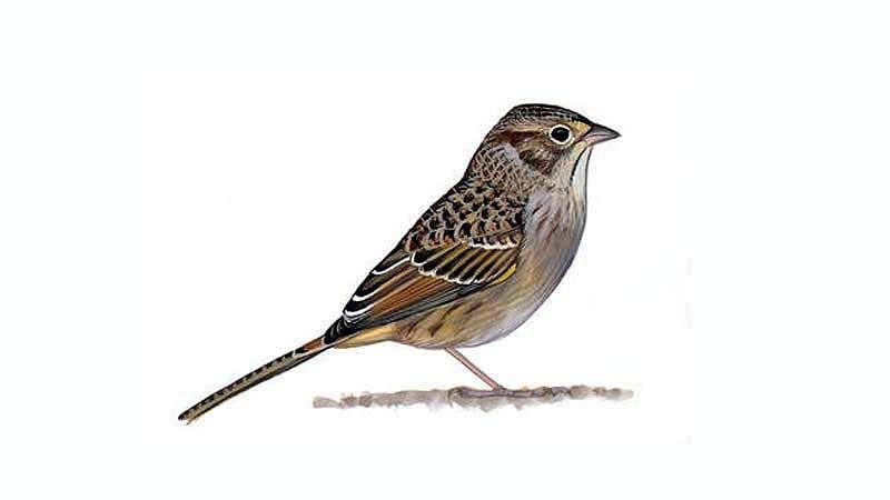 sparrow-bird-9