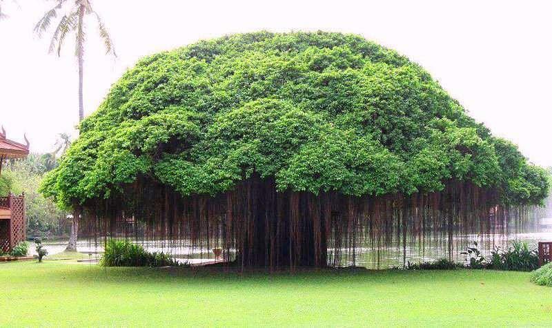the-banyan-tree