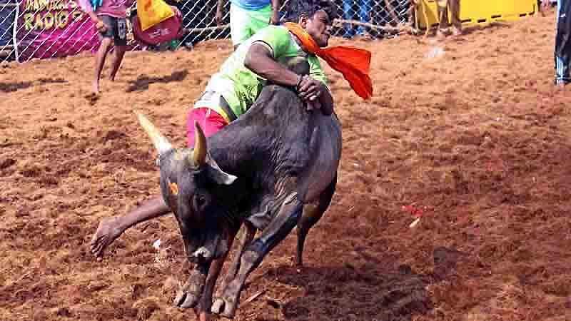 Madurai-Jallikattu-14