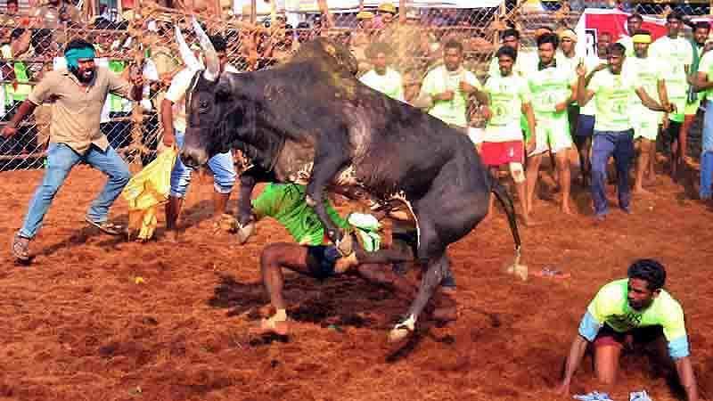 Madurai-Jallikattu-8