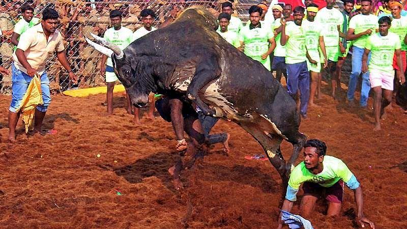Madurai-Jallikattu-9