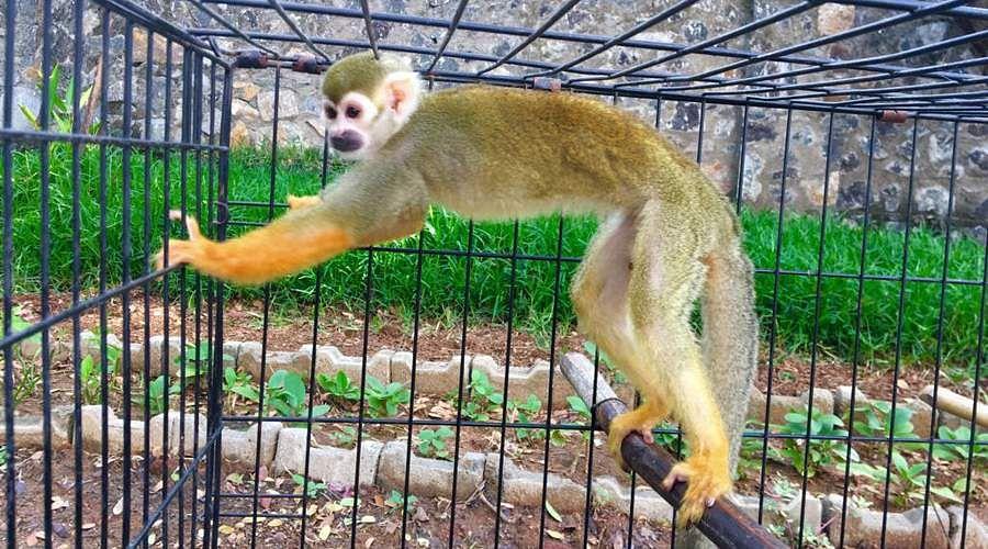வண்டலூர் பூங்காவில் புதிய வரவு Monkey-god-6