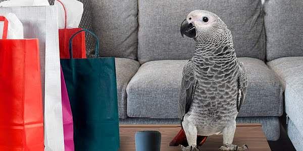 rocco_grey_parrot