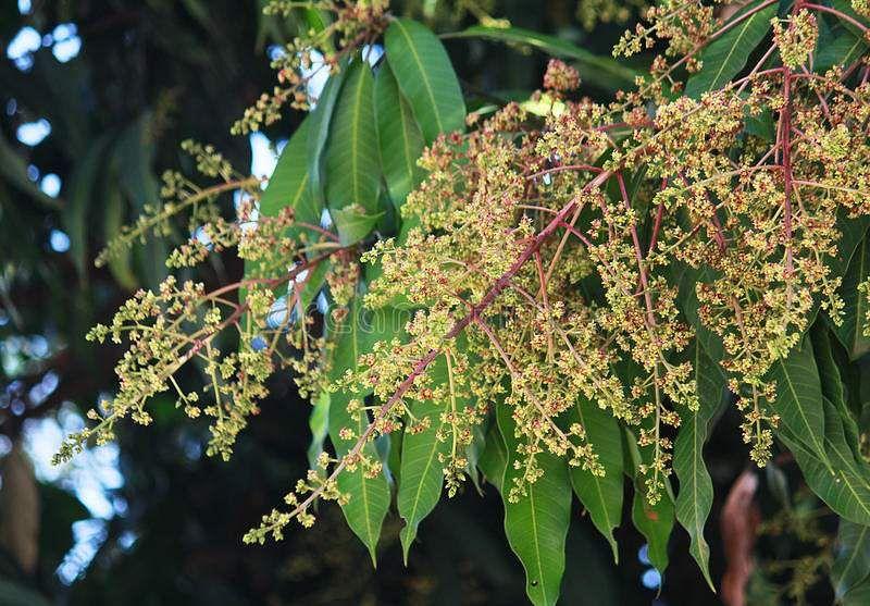 mango-flower-leaves-fleshy-stone-fruit-belonging-to-genus-mangifera-37237826
