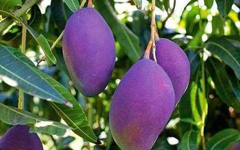 purple_mangoes