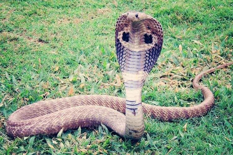 0000king-cobra-