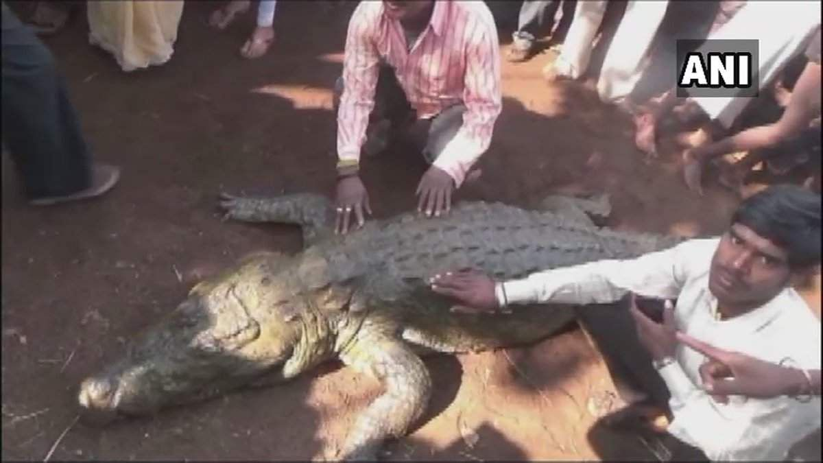 crocodile,_named_'Gangaram_at_the_funeral_ceremony_2
