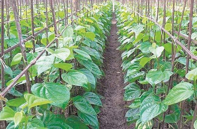 Betel-Leaf-farming