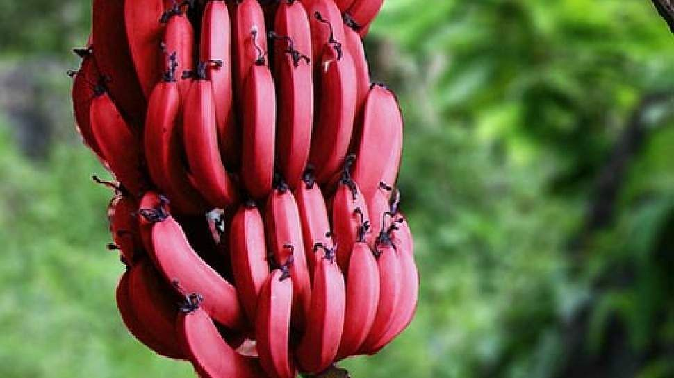 red_plantain