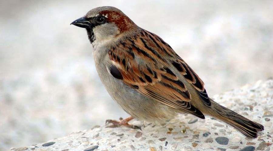 sparrow-12