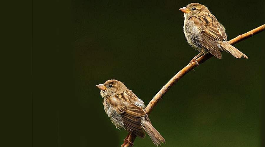 sparrow-13