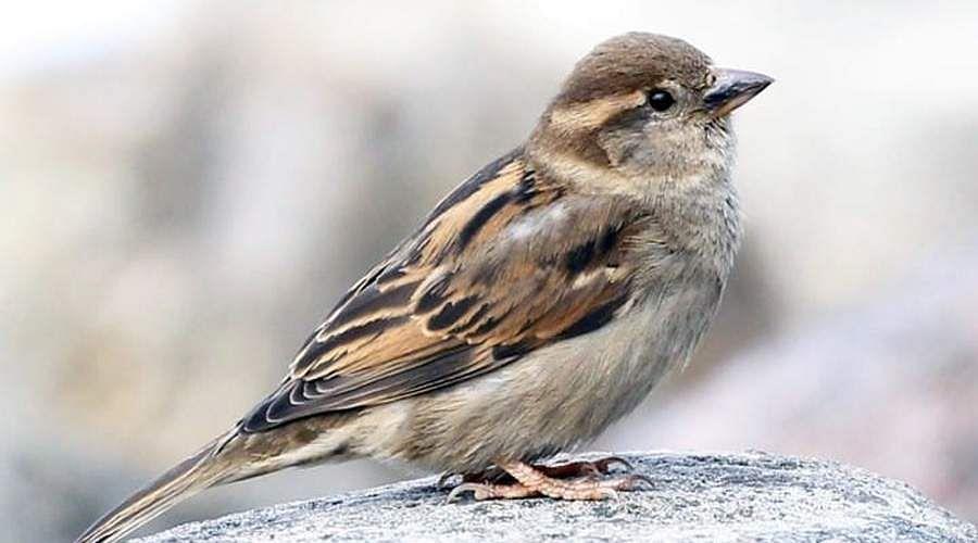 sparrow-16