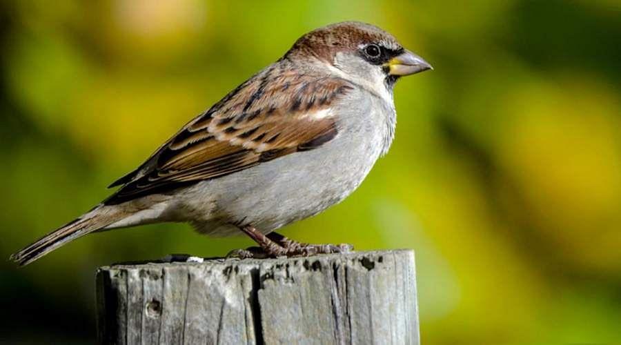 sparrow-18