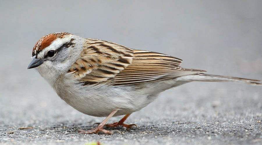 sparrow-21