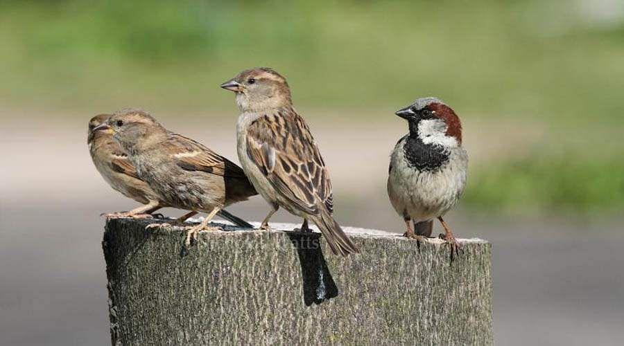sparrow-26