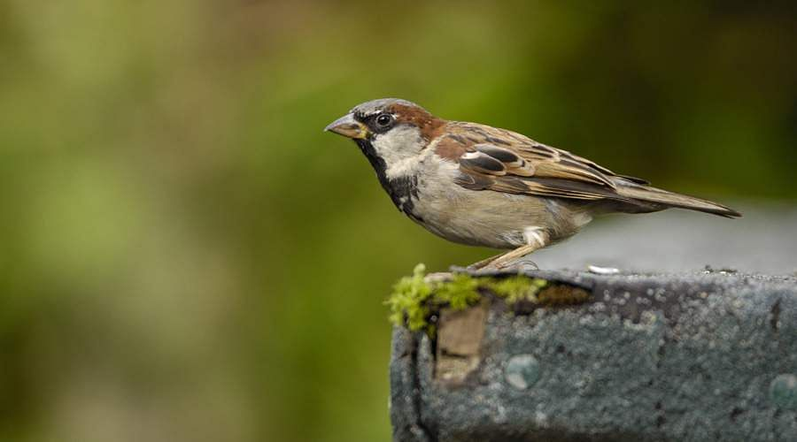 sparrow-27