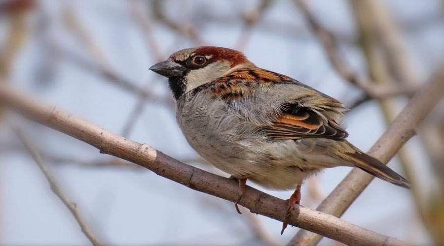 sparrow-29