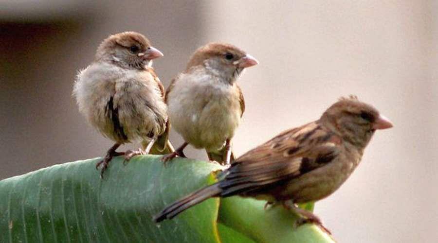 sparrow-31