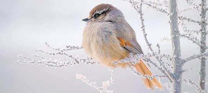 பறவைகள் எப்படிக் கடுங்குளிரைத் தாங்கிக் கொள்கின்றன? BIRD
