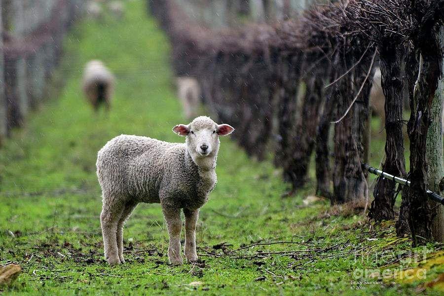 ஆட்டுக்குட்டியை நனைத்த மழை -  (கவிதைமணி) -  கவிஞர். நளினி விநாயகமூர்த்தி  Lamb-in-the-rain-tracy-saunders