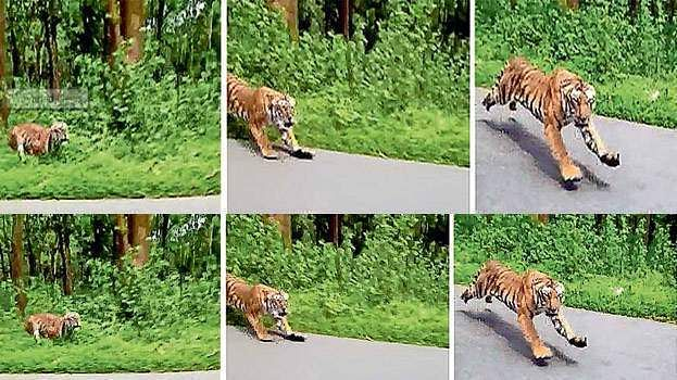 tiger_chases_bike_riders