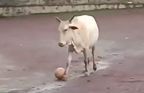000_cow