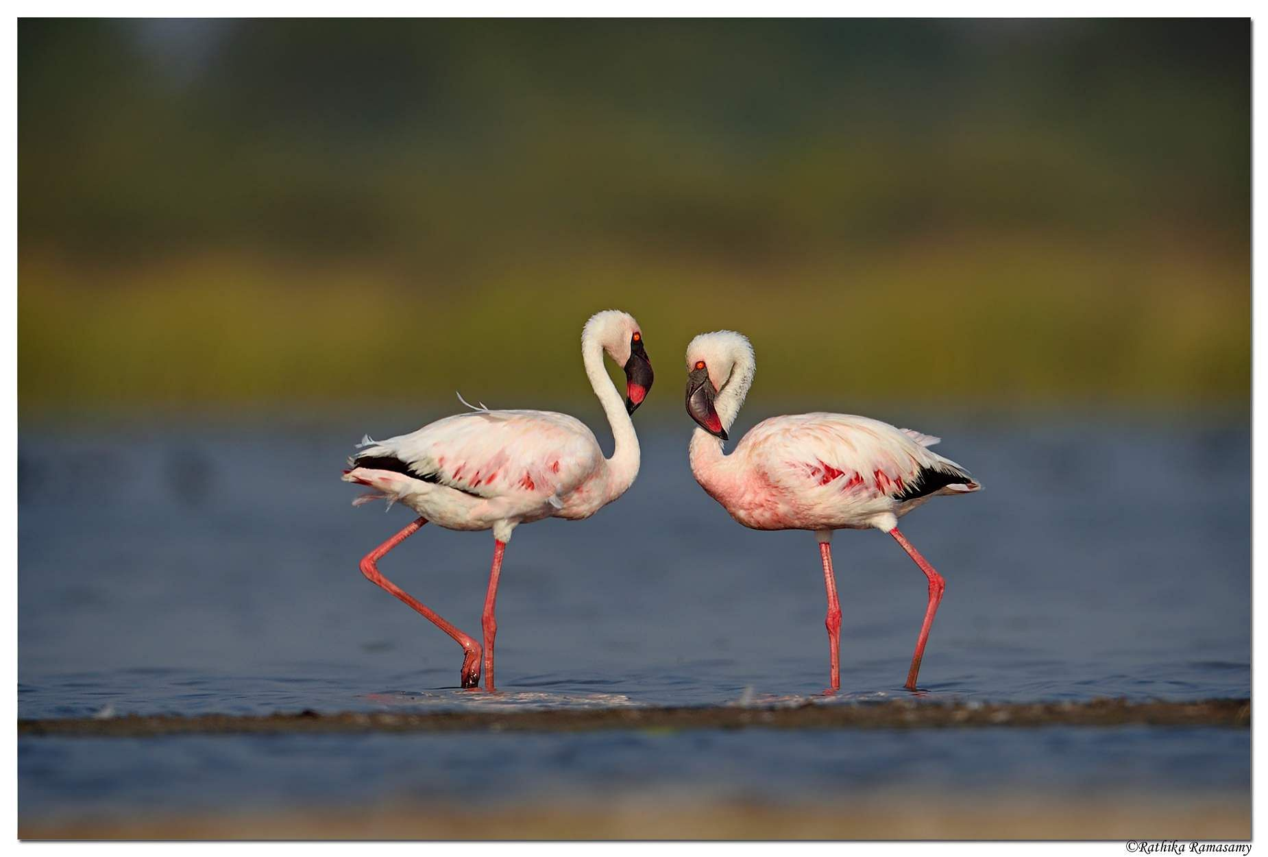 Rathika's Lesser flamingo
