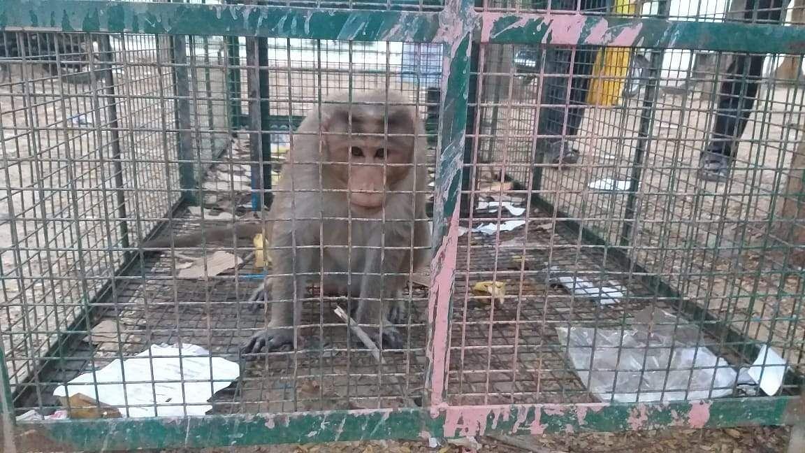 monkey steals the show in krishnagiri