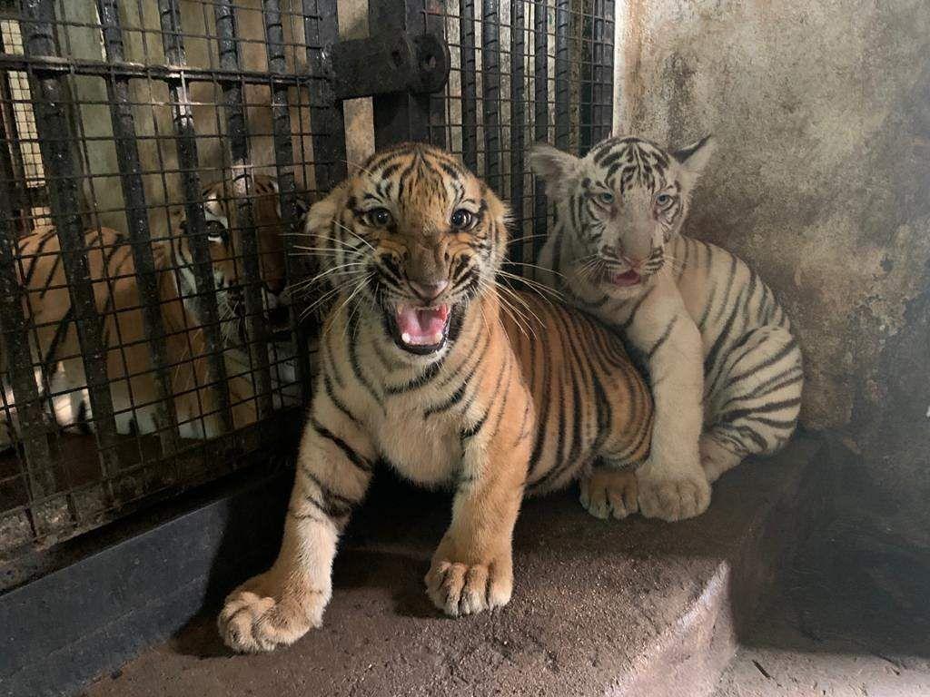 new tiger cubs in vandaloor zoo