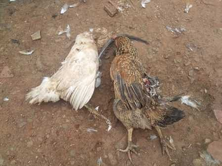 Chickens killed by uncle beast near Cuddalore