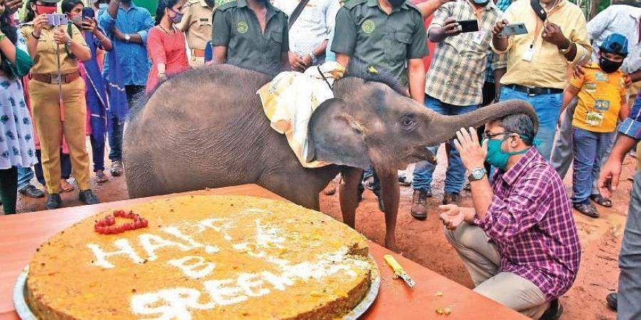 Baby elephant Sreekutty in Kerala celebrates her first birthday