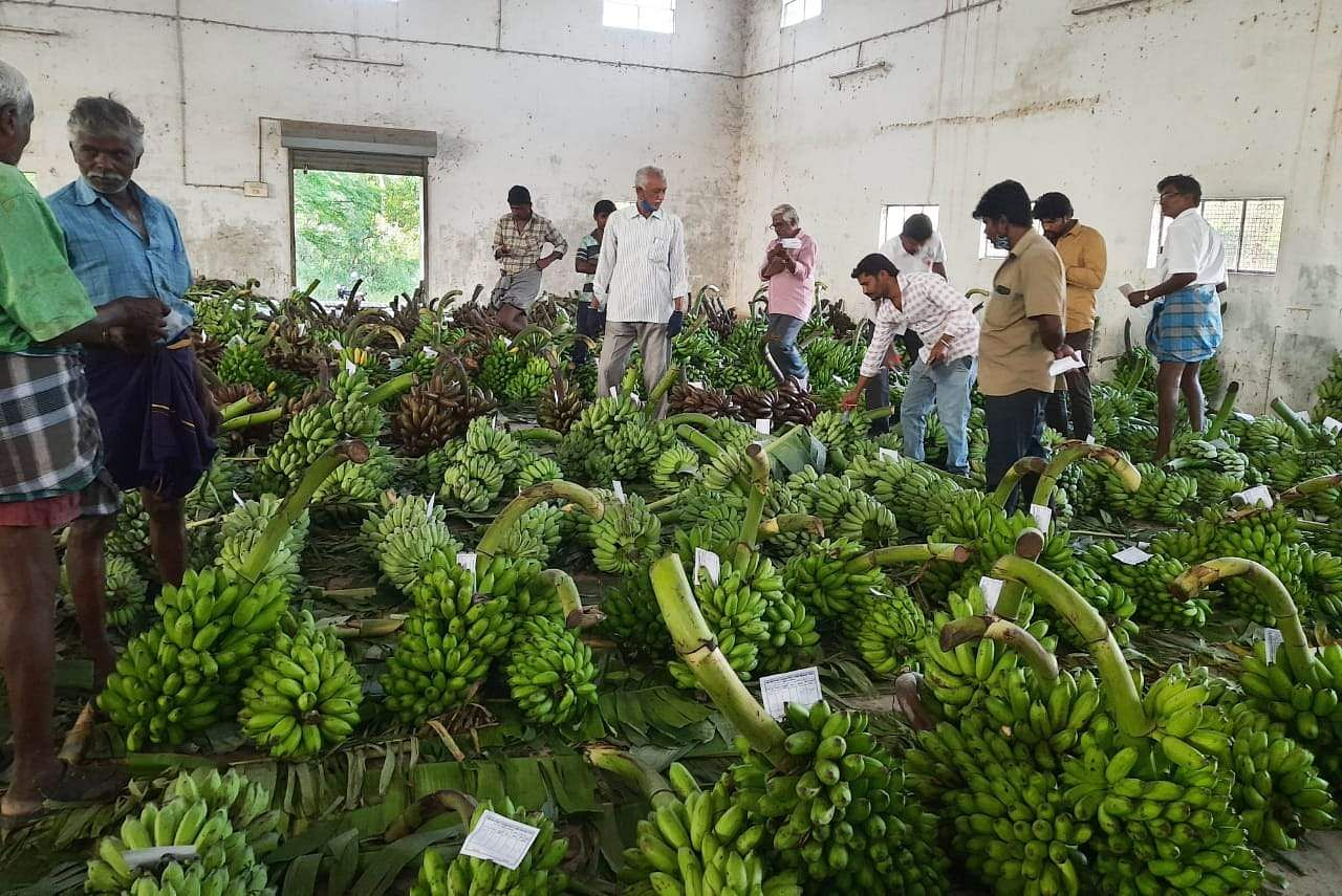 Farmers worried by falling banana prices