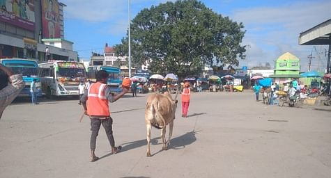 Dinamani News Effect: Seizure of cattle roaming the road
