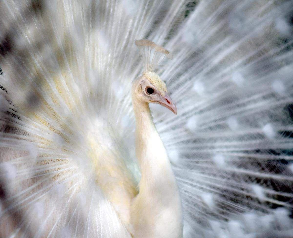 Peacock-2