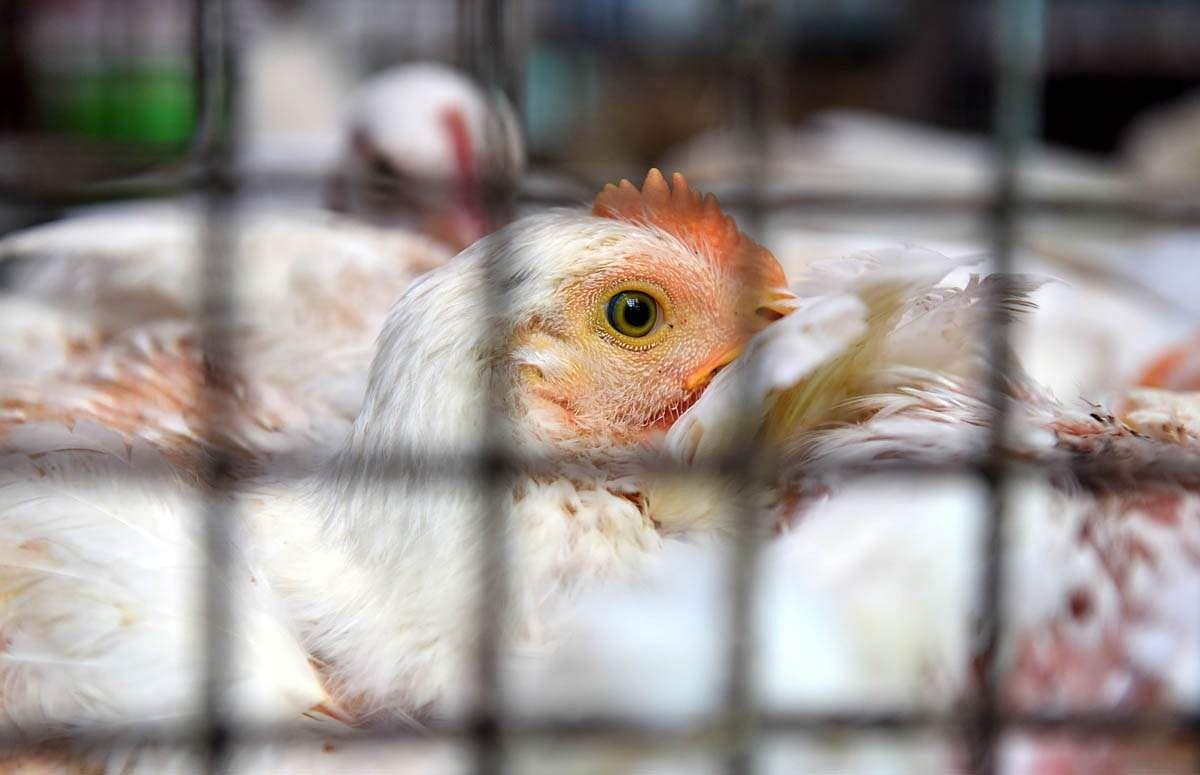 chicken-10
